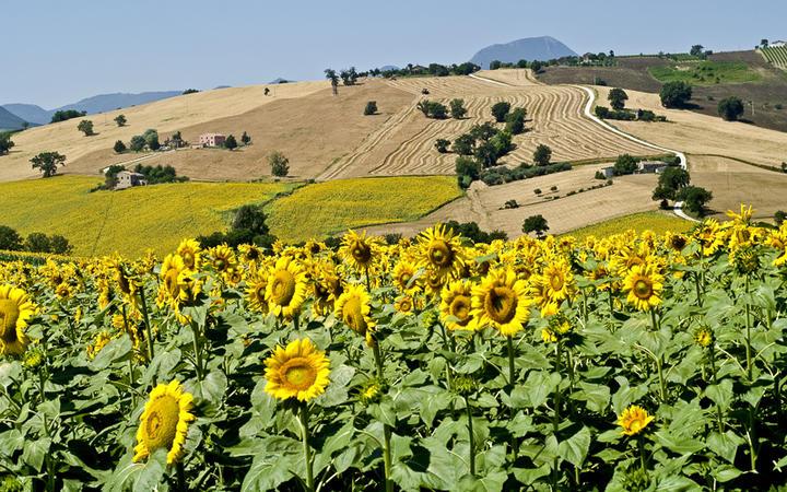 Sonnenblumenfeld nahe von Jesi © Claudio Giovanni Colombo / Shutterstock.com