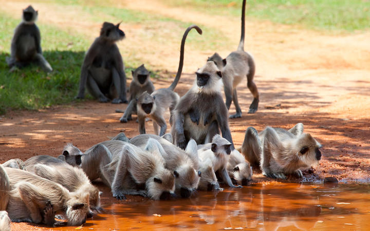 Affen in Anuradhapura © Galyna Andrushko / Shutterstock.com