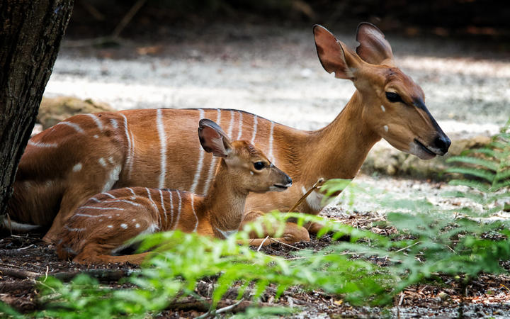 Nyala Antilopen © Jonathan Choo / Shutterstock.com