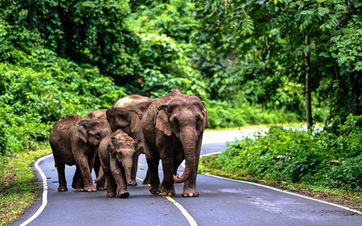 Asisatische Elefanten im Khao Yai National Park, Nordostthailand © nutsiam / Shutterstock.com