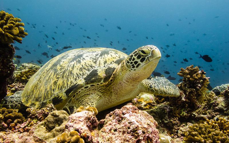 Meeresschildkröte in einem Korallenriff der Malediven © Hendrik Martens / Shutterstock.com
